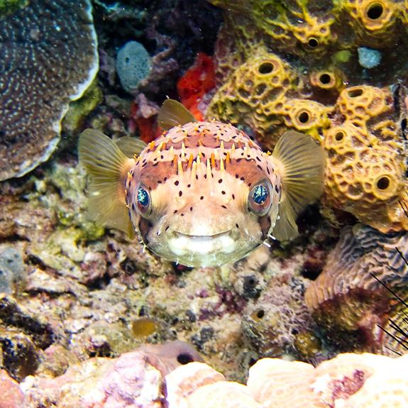 pez-globo-buceo-puerto-morelos