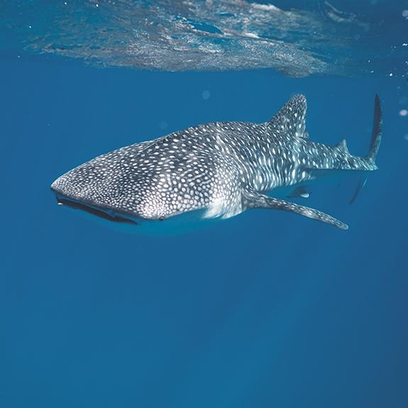 snorkel-con-tiburon-ballena-dive-home